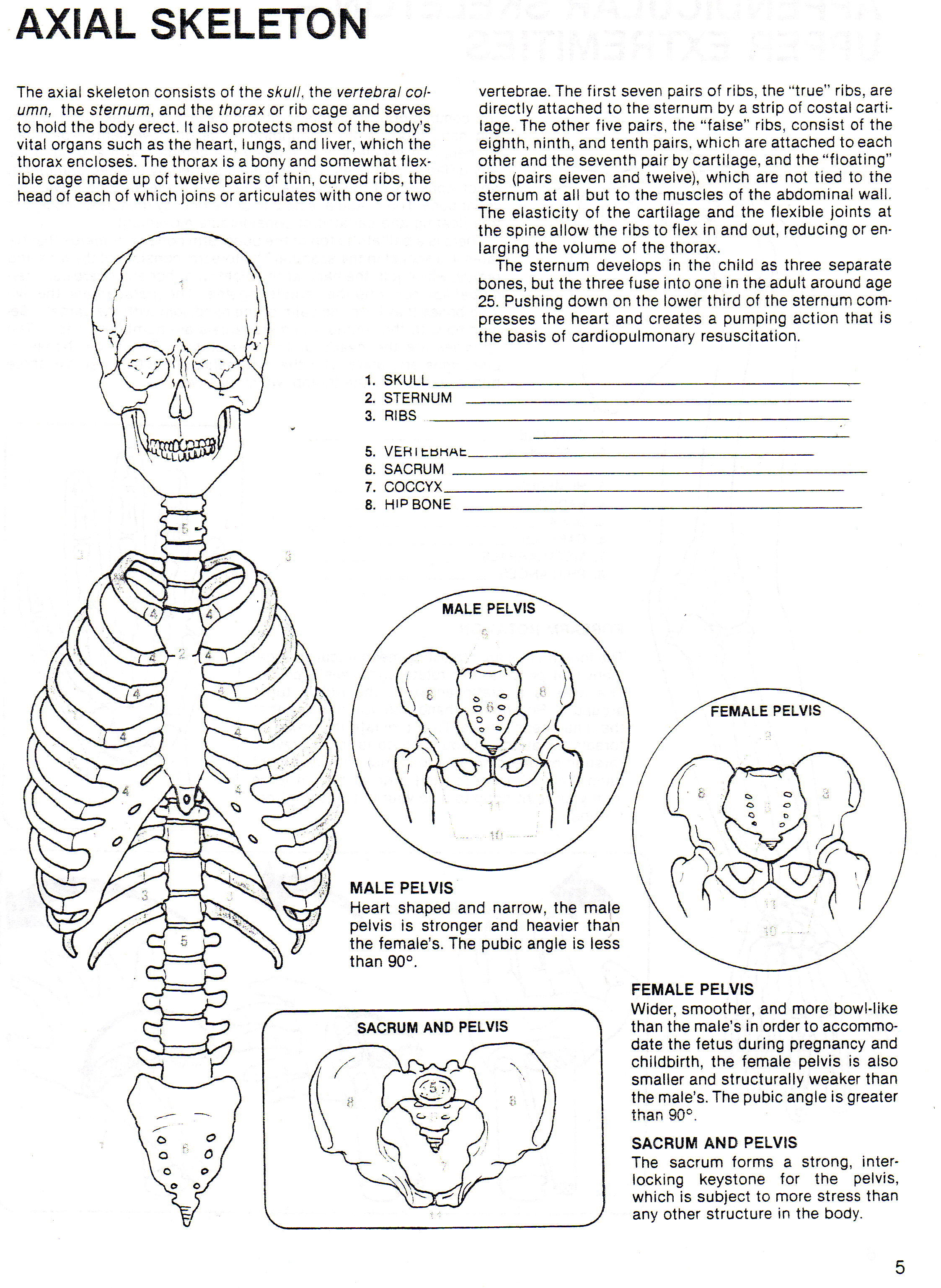 Axial Skeleton Skull Worksheet – Human Skeleton Worksheet