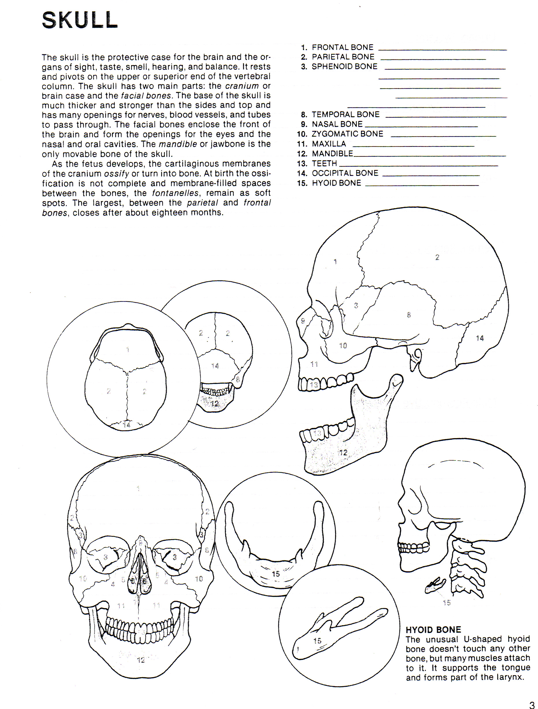 Skull Anatomy Worksheets http://southhealth.weebly.com/human-growth--development.html